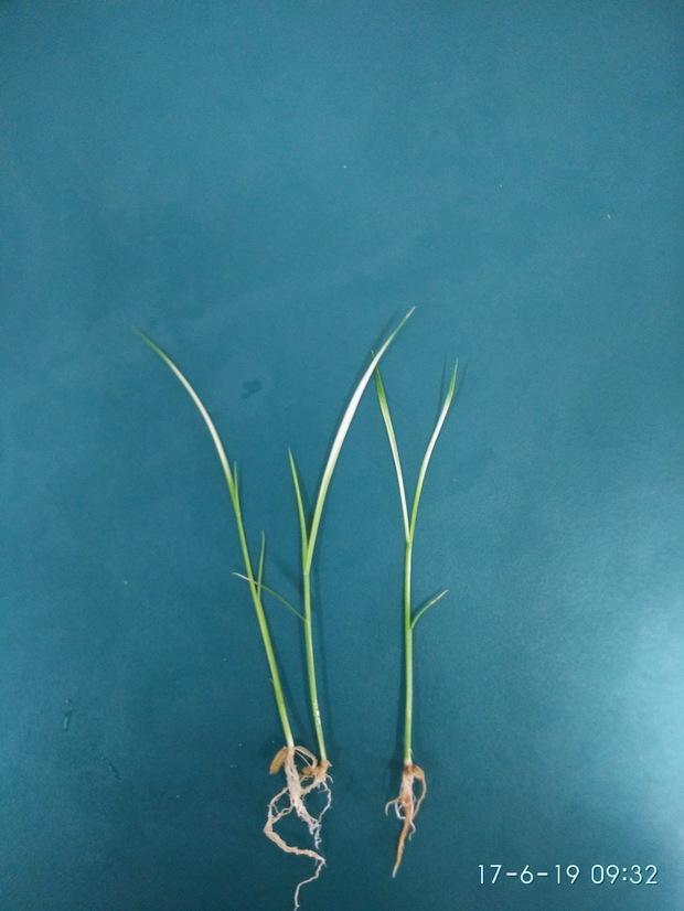 水稻幼苗叶片发白