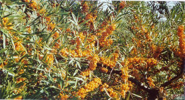 沙刺是一种植物新疆到拉萨攻略自驾图片