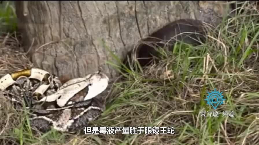 世界上毒牙最长的蛇