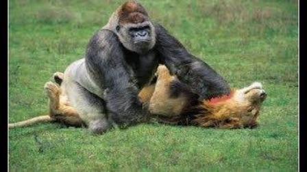 狒狒父亲狮子口下勇救幼崽_视频-生命战场(第17弹):狒狒,猩猩,水牛vs狮子