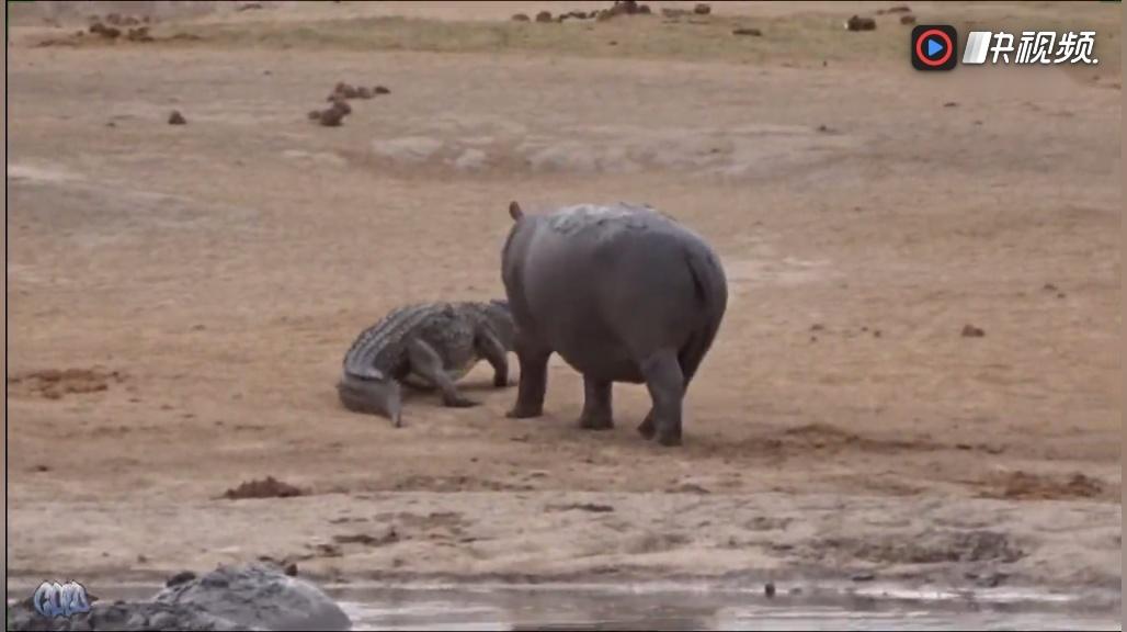 动物世界:这只河马牛逼狂追鳄鱼不放,是爱还是恨?