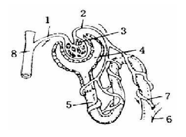 右图是肾单位结构模式图,请据图回答