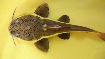 红尾鲶鱼能和锦鲤养在一起吗