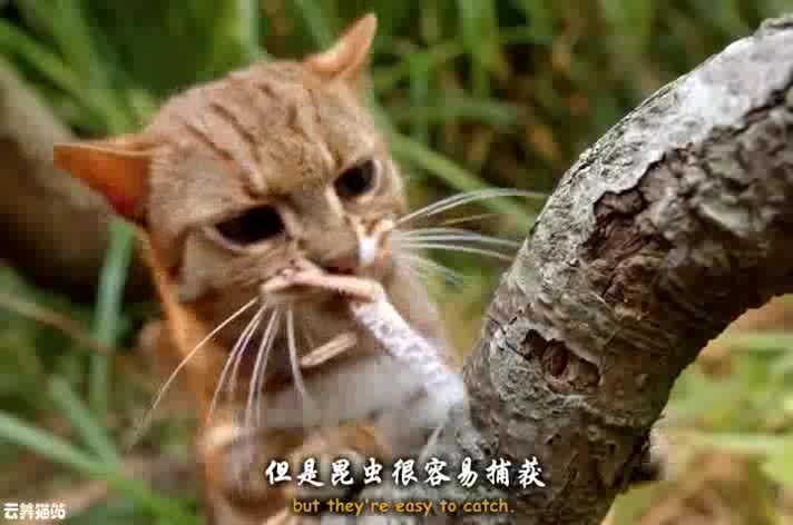 上体型最小的猫科动物,咬合力却很惊人,还会吃
