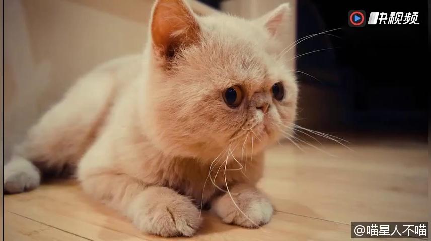 萌宠的日常 日常吸猫 漂亮的长毛加菲猫,太可爱了谁还不是个公主那!