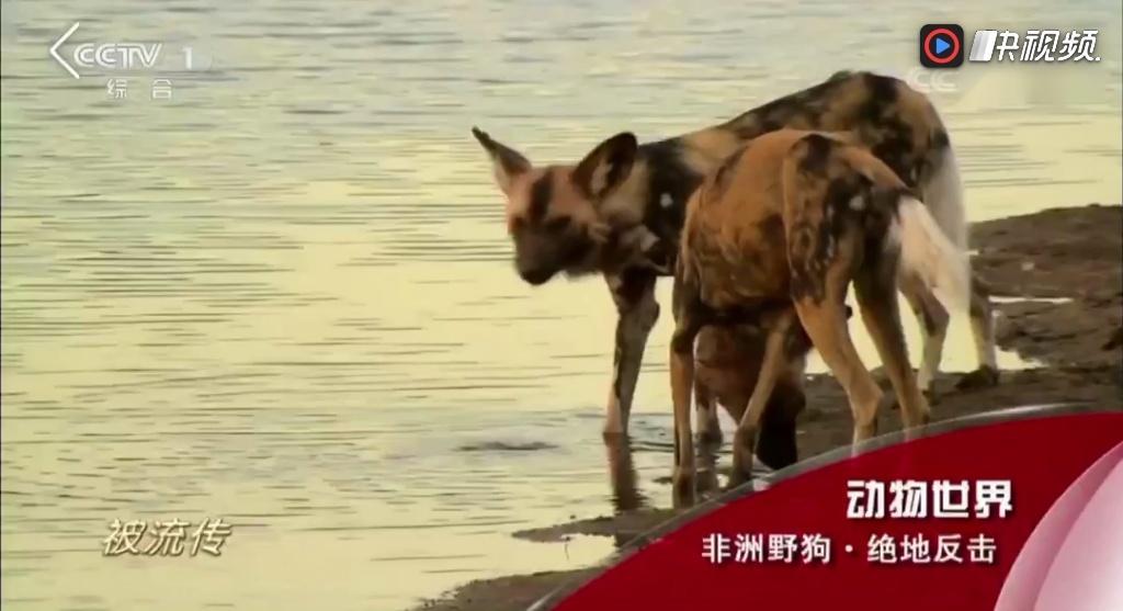 居然会在央视cctv1动物世界听到我涵的《传世之爱》真是太意外太惊喜