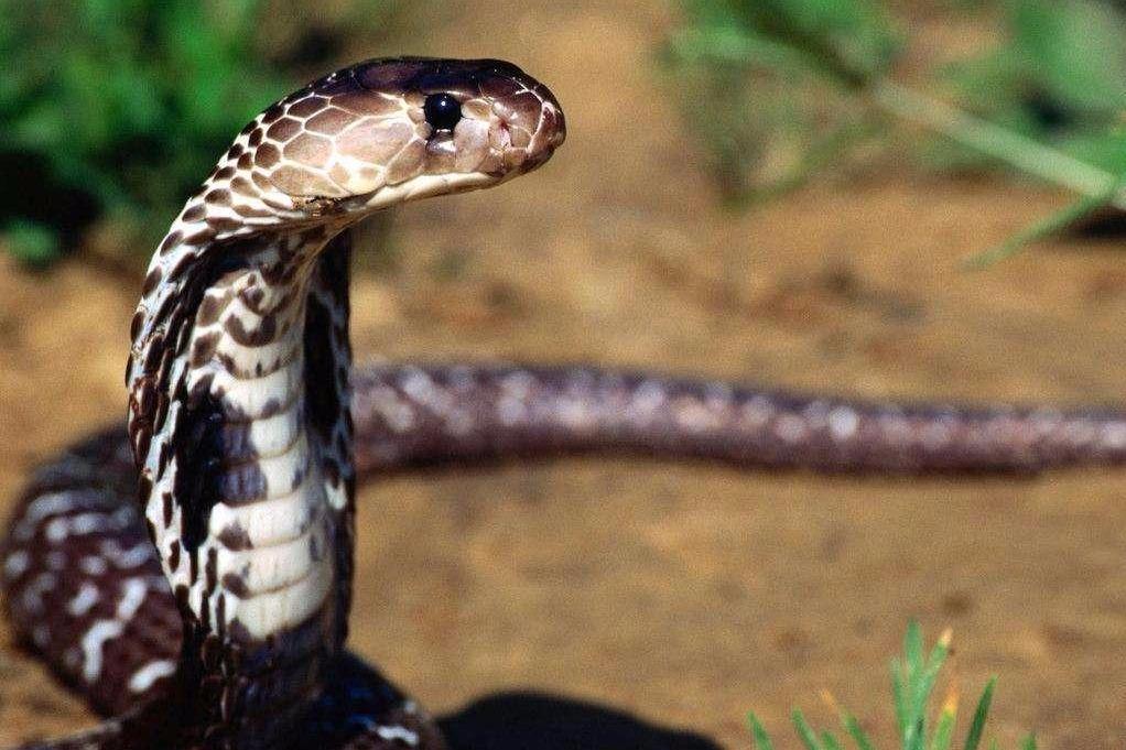 驯化高手有祖传绝招驯蛇无数,这次他遇到了真正的对手!