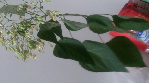 大叶,跟杨树叶有点像,请问是什么树图片
