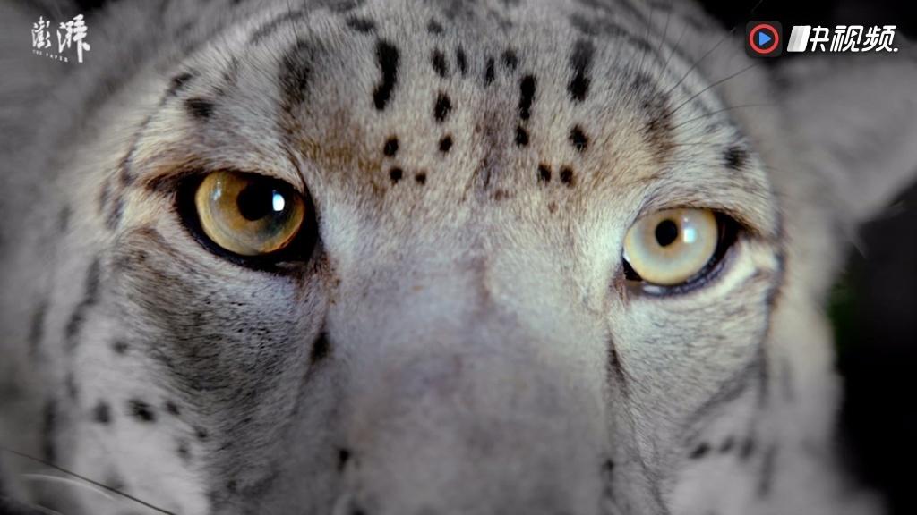 bbc纪录片《大猫》开播,呈现全球40种猫科动物