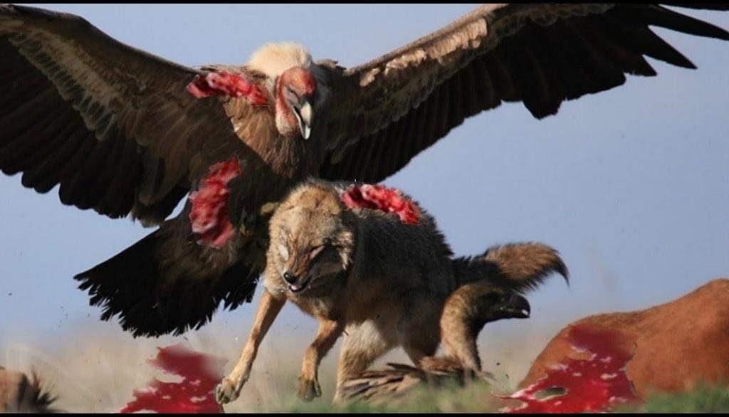 动物世界 - 野生动物的攻击 - 鹰对狼,蛇,狐狸,山,山羊