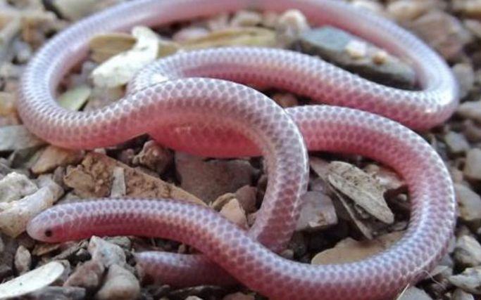 【奈叔】世界上最小的蛇——盲蛇 ,开箱
