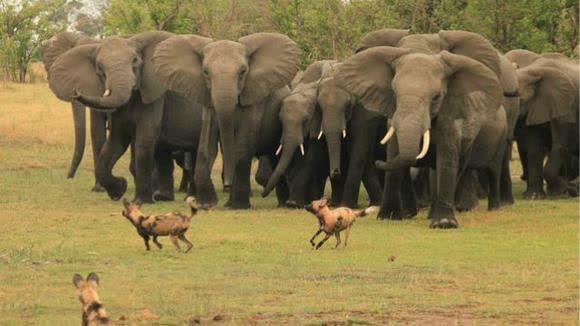 壁纸 大象 动物 580_326