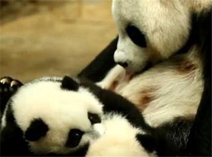 萌宠逗趣瞬间之小熊猫喝奶