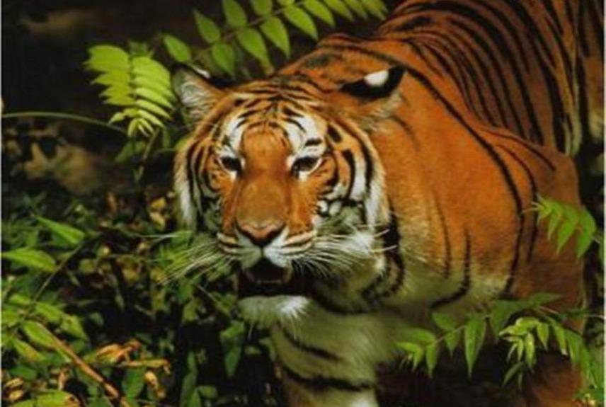 视频:森林霸主老虎吃掉黑熊 动物世界老虎狮子恐龙蛇鳄鱼合集