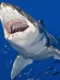 BBC:鲨鱼的科学