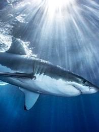BBC:鲨鱼