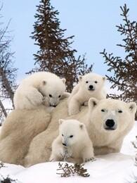 BBC:我和北极熊一家