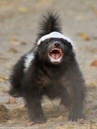 BBC:蜜獾-毁坏大师