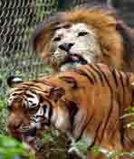 解密狮虎兽