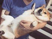 狗狗脸上肥肉多,一睡觉就像换了一张脸,这真的不是松狮犬吗?