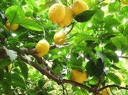 柠檬再也不用去超市买了,家里种一棵,随时喝到新鲜的柠檬水