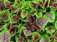 夏天吃紫苋菜,排毒补钙防便秘,可有2个禁忌要注意