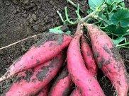 红薯吃多了会发胖?不但不会还利于减肥