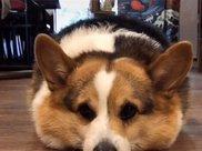 柯基太胖,卡在石墩里出不来,狗:我可能需要减肥