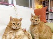 橘猫兄妹天生一副易胖体质,吃得不多却胖成猪,加起来足足40斤