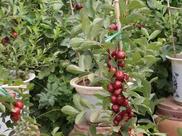 """好养易活的水果""""盆栽"""", 家里种上一棵当年就结果,好吃又好看"""