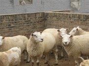 """羊怎么喂都长不胖?做好""""一驱二补"""""""