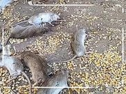 家中老鼠疯狂偷吃玉米,逮来两只中华田园猫,不料第二天满地狼藉