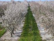 坚果巴旦木,国内产量仅为消耗量的1/3,价高却为啥没大规模种植