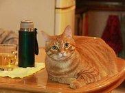 日本胖猫比人还坚持减肥,每天爬山锻炼7年,却越减越重愁坏铲屎官!
