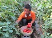 西红柿买红皮还是粉皮好?果农给出答案,别再买错了