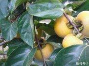 柿子很多人都吃过,柿子叶的作用却少有人知,不过现在知道也不晚