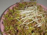 如何自己种绿豆芽