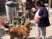 女孩怀孕即将生产,金毛看到她的大肚子后,举动让人懵了