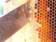 蜂巢蜜嚼不动的是什么?蜂巢蜜嚼不烂是真的吗?这些知识要知道