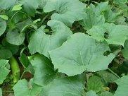 农村菜园里一种瓜果,形似黄瓜,小时候常吃现在却很少见了