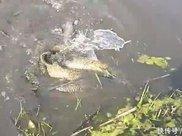 河水突然疯狂翻腾,全是五斤以上大鲤鱼,水底究竟发生了什么