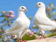 农村人经常上市场买鸽子吃,究竟有什么营养?听听美食专家怎么说