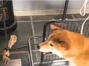 为了让狗狗减肥,主人在跑步机上挂了根骨头,狗狗:跑快点就能吃