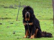 地球上10大最长寿的宠物狗,贵宾第三,吉娃娃第七,你养了吗?