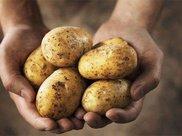 常吃土豆能减肥,但是不要和它一起炒着吃,可能会损害身体健康