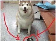 狗狗太胖被送去奶奶家减肥,一年后去接二哈,进屋一看直接懵了