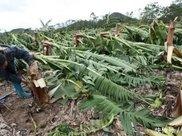 """不长香蕉的""""香蕉树"""":却被非洲人当作主食,养活1500万人"""