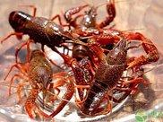 小龙虾的最新市场价格是多少?关于吃虾的误区有哪些?