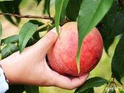 初秋吃水蜜桃的三个误区,很多人都有做错,大家还是要多注意!