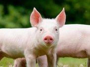 仔猪提早戒奶有哪些好处?什么时候戒奶比较好?这里告诉你